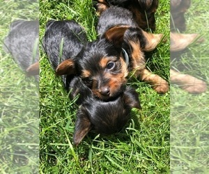 Silkshire Terrier-Yorkshire Terrier Mix Puppy for Sale in VOLUNTOWN, Connecticut USA