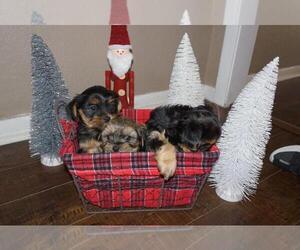 Shorkie Tzu Puppy for sale in VICTORIA, TX, USA
