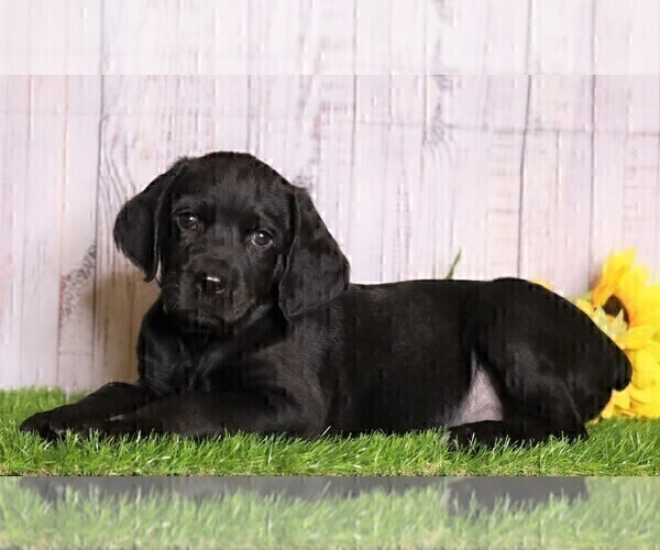 Medium Photo #2 Rottle Puppy For Sale in FREDERICKSBG, OH, USA