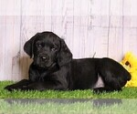 Small Photo #2 Rottle Puppy For Sale in FREDERICKSBG, OH, USA