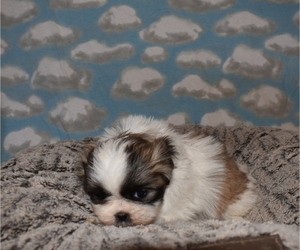 Zuchon Puppy for Sale in MOUNT VERNON, Iowa USA