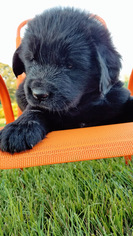 Newfoundland Puppy For Sale in MILLERSBURG, OH, USA