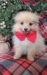 Pomeranian Puppy For Sale near 17601, Eden, PA, USA