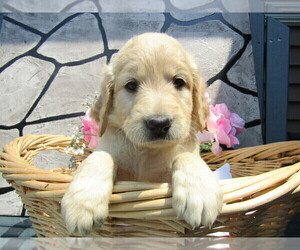 Goldendoodle Puppy for sale in HUDSON, MI, USA