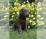 Small Borador-Labloodhound Mix