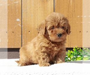 Labradoodle-Poodle (Miniature) Mix Puppy for sale in BIRD IN HAND, PA, USA