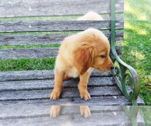 Golden Retriever Puppy for sale in LEON, KS, USA