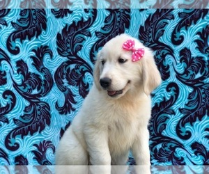 English Cream Golden Retriever Puppy for sale in LANCASTER, PA, USA