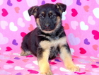 German Shepherd Dog Puppy For Sale in MOUNT JOY, PA, USA