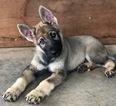 German Shepherd Dog Puppy For Sale in COLONY, OK, USA
