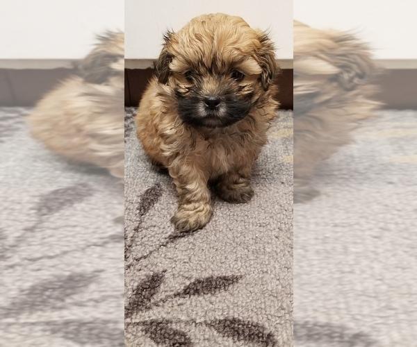 Medium Photo #4 Zuchon Puppy For Sale in SHAWNEE, KS, USA