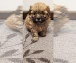 Small Photo #4 Zuchon Puppy For Sale in SHAWNEE, KS, USA