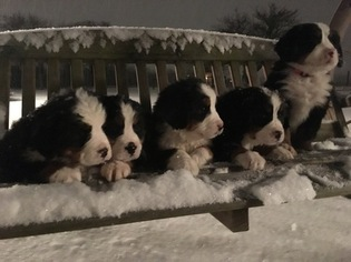 Bernese Mountain Dog Puppy For Sale in NEW HAVEN, IN, USA