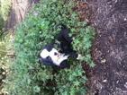 Alaskan Husky-Australian Shepherd Mix Puppy For Sale in SUGARCREEK, OH
