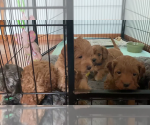 Cavapoo Puppy for sale in MAGNA, UT, USA