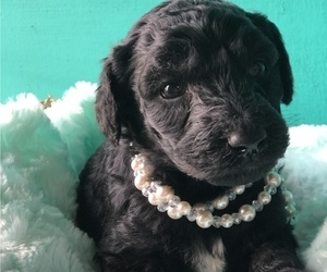 Poodle (Standard) Puppy for sale in COWARD, SC, USA