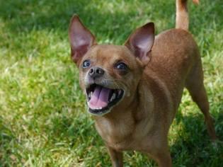 Baxter - Chihuahua (short coat) Dog For Adoption