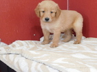 Golden Retriever Puppy For Sale in ODON, Indiana,
