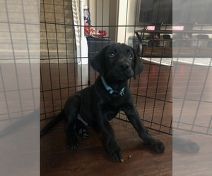 Labrador Retriever Puppy for sale in ALTAMONTE SPG, FL, USA