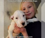 Small Photo #81 Dogo Argentino Puppy For Sale in PINEVILLE, MO, USA