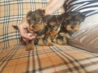 Yorkshire Terrier Puppy For Sale in SAN DIEGO, CA, USA