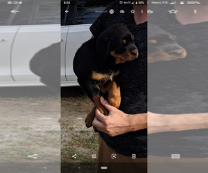 Rottweiler Puppy for sale in ATHOL, ID, USA