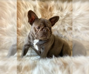 Mother of the French Bulldog puppies born on 03/11/2021
