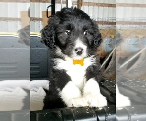 Aussiedoodle Puppy for sale in DERBY, IA, USA
