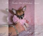Puppy 1 Chihuahua