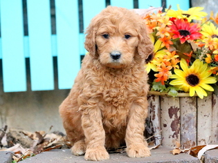 Goldendoodle Puppy For Sale in MOUNT JOY, PA