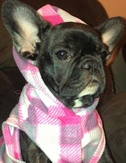 French Bulldog Puppy For Sale in RUSKIN, FL, USA