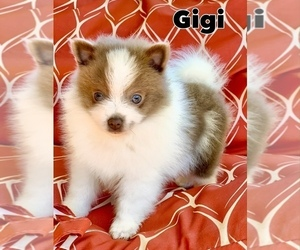 Pomeranian Puppy for Sale in BUFORD, Georgia USA