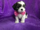 Shih Tzu Puppy For Sale in EAST EARL, PA, USA