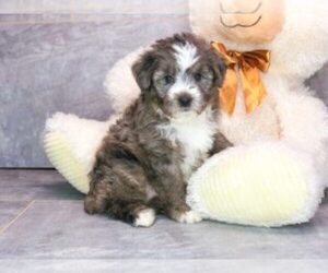 Australian Shepherd-Poodle (Miniature) Mix Puppy for sale in AMITY, NC, USA