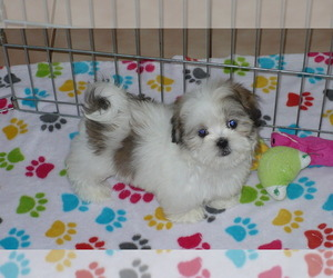 Mal-Shi Puppy for sale in ORO VALLEY, AZ, USA