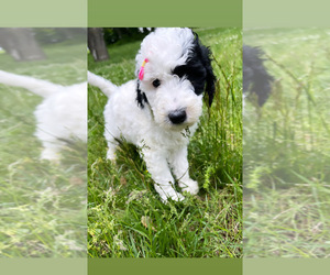 Goldendoodle Puppy for Sale in LOTHIAN, Maryland USA