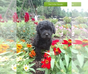 Goldendoodle (Miniature) Puppy for sale in HONEA PATH, SC, USA