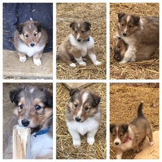 Collie Puppy for sale in OLIVE BRANCH, MS, USA