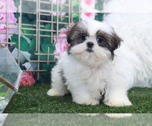 Shih Tzu Puppy for sale in MARIETTA, GA, USA
