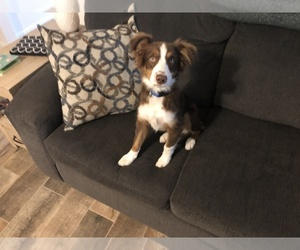 Miniature Australian Shepherd Dog for Adoption in FORT MYERS, Florida USA