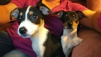 Rat Terrier Puppy For Sale in AUBURN, KS, USA