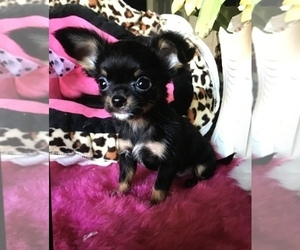 Chihuahua Puppy for Sale in TRACY, California USA