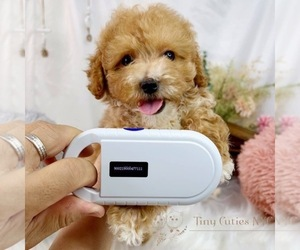 Poodle (Toy) Puppy for sale in ASTORIA, NY, USA