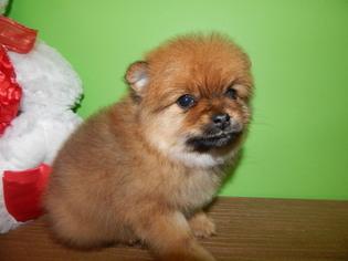 View Ad Pomeranian Puppy For Sale Indiana Hammond Usa