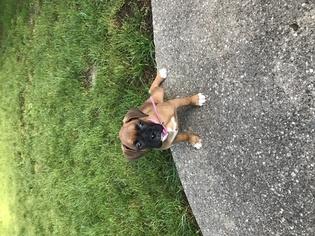 Boxer Puppy for sale in SPRINGFIELD, IL, USA