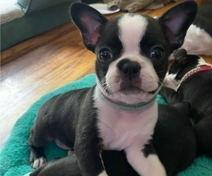 Boston Terrier Puppy for Sale in KERRVILLE, Texas USA