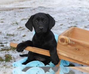 Labrador Retriever Puppy for sale in CLARKRANGE, TN, USA