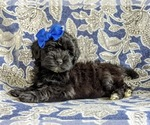 Small #1 Havanese-Poodle (Toy) Mix