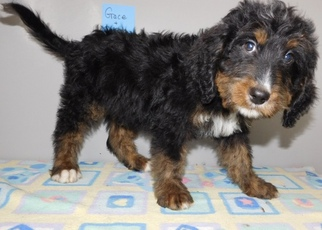 Bernedoodle Puppy For Sale in MIDDLEBURY, IN, USA