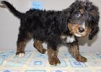 Bernese Mountain Poo Puppy For Sale in MIDDLEBURY, IN, USA